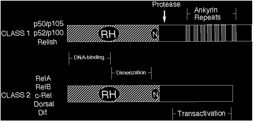 Figure 1 Rel-family-transcription-factors-and-RH-domain